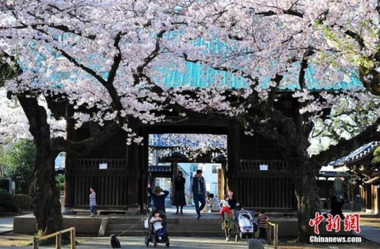 日本の桜.jpg