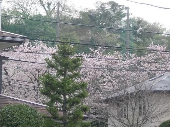 自宅から見た西柴小の桜.JPG