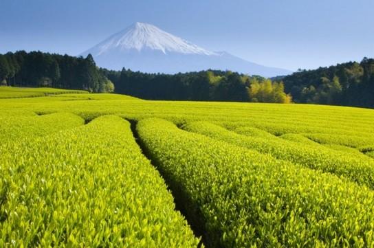 茶畑と富士山.jpg
