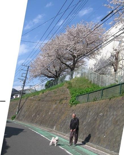 西柴小の桜.JPG