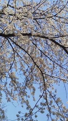 野島公園お花見2017.04.06.jpg