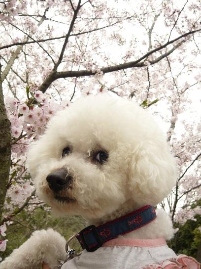 お花見するモコちゃんa.JPG